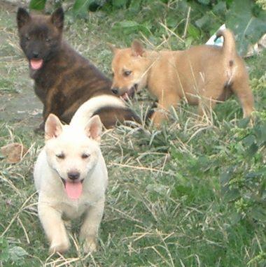 060128琉球犬の仔犬.jpg