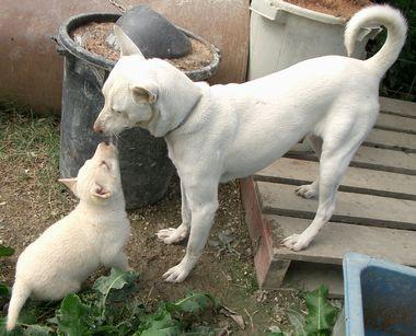 060203琉球犬ー白.jpg