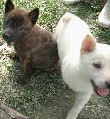 060204琉球犬の仔犬.jpg