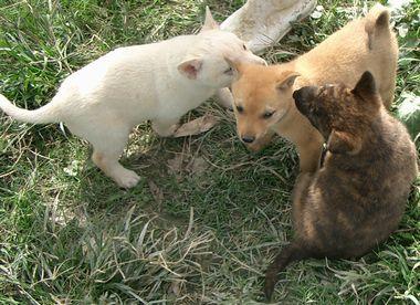 060205琉球犬の仔犬.jpg