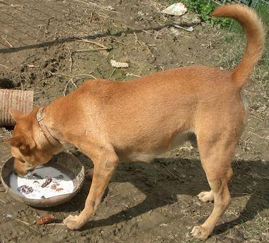 060210琉球犬ー赤犬.jpg