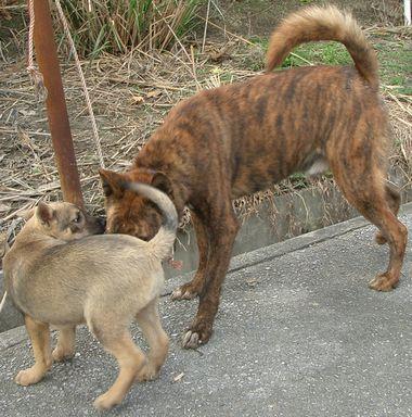 060211琉球犬.jpg
