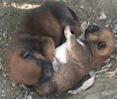 060214生後10日の琉球犬の仔犬3頭.jpg