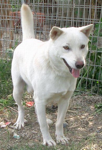 060223琉球犬「白」.jpg