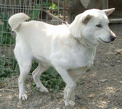 060223琉球犬「白」2.jpg