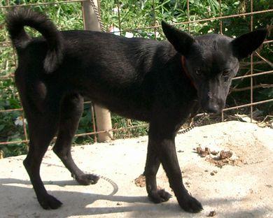 060224琉球犬「黒」3.jpg