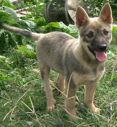 060225琉球犬「ゴマ」の仔犬1.jpg