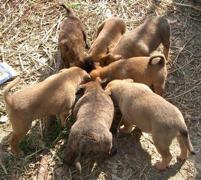 060228琉球犬の仔犬たち.jpg